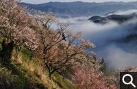 season_sp011吉野