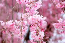 images二尊院桜1