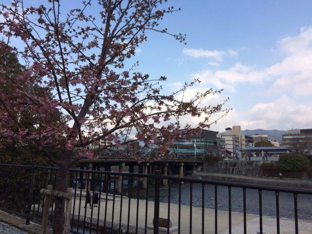 京都の桜情報2017年3月2日 三条大橋の南西側の川端の八重桜2本咲く写真